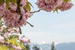 Flor de cerejeira cor-de-rosa acima das montanhas borradas de Vancôver com neve foto de stock