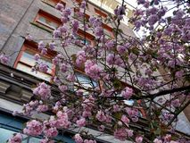 A flor de cerejeira cor-de-rosa bonita de Kanzan Sakura floresce em Vancôver, Canadá imagem de stock