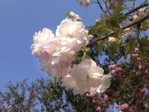 Flor de cerejeira cor-de-rosa e branca imagens de stock royalty free