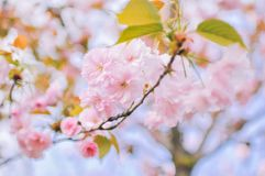 Flor de cerejeira cor-de-rosa macia de sakura na mola imagens de stock