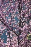 Flor de cerejeira da flor completa Fotos de Stock