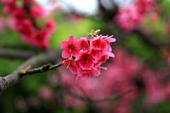 Flor de cerejeira da flor completa em Taiwan Fotografia de Stock