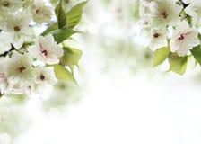 Flor de cerejeira da mola Foto de Stock Royalty Free