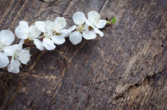 Flor de cerejeira da mola no fundo de madeira rústico Imagem de Stock Royalty Free