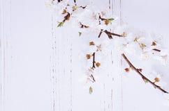 Flor de cerejeira da mola no fundo de madeira rústico Fotos de Stock