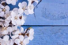 Flor de cerejeira da mola no fundo de madeira rústico Foto de Stock Royalty Free