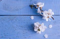 Flor de cerejeira da mola no fundo de madeira rústico Imagens de Stock