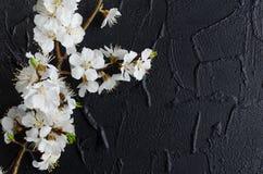 Flor de cerejeira da mola no fundo preto Fotos de Stock