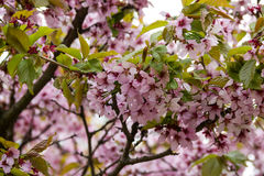 Flor de cerejeira de florescência na mola imagem de stock