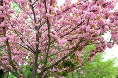 Flor de cerejeira de Japão Fotos de Stock Royalty Free