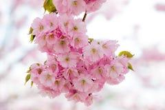 Flor de cerejeira de Sakura Foto de Stock