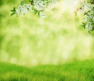 Flor de cerejeira do branco da arte do fundo da mola SCE bonitas da natureza imagens de stock
