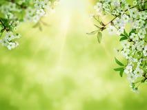 Flor de cerejeira do branco da arte do fundo da mola SCE bonitas da natureza fotos de stock royalty free