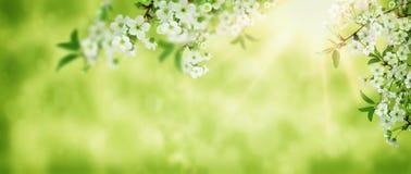 Flor de cerejeira do branco da arte do fundo da mola SCE bonitas da natureza fotografia de stock