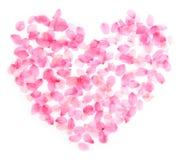 Flor de cerejeira do coração imagem de stock royalty free
