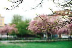 Flor de cerejeira do rosa da árvore da mola imagem de stock royalty free