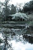Flor de cerejeira e lagoa Fotos de Stock