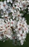 Flor de cerejeira e sido fotos de stock royalty free
