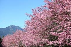 Flor de cerejeira em Formosa Foto de Stock