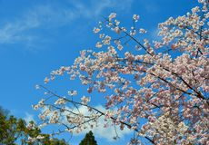 Flor de cerejeira em Kyoto, Jap?o fotos de stock royalty free
