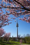 Flor de cerejeira em Munich Fotografia de Stock Royalty Free