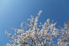 Flor de cerejeira em um contexto da árvore de Sakura fotografia de stock royalty free