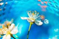 Flor de cerejeira em um fundo azul fotos de stock royalty free