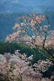 Flor de cerejeira em Yoshino, Japão Foto de Stock Royalty Free