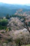 Flor de cerejeira em Yoshino, Japão Foto de Stock