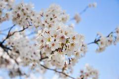 Flor de cerejeira fechado-acima Foto de Stock