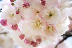 Flor de cerejeira fechado-acima Fotografia de Stock Royalty Free