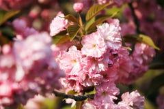 Flor de cerejeira, fim acima Fotografia de Stock Royalty Free