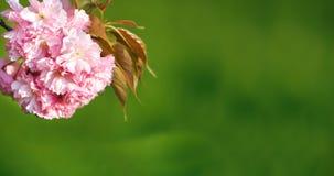 Flor de cerejeira, fim acima Imagens de Stock Royalty Free