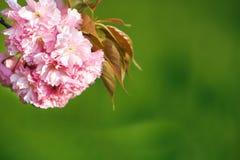 Flor de cerejeira, fim acima Foto de Stock