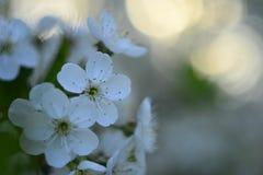 Flor de cerejeira, flores brancas, mola do russo, fundo bonito Imagem de Stock