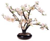 Flor de cerejeira, flores de sakura Imagem de Stock Royalty Free