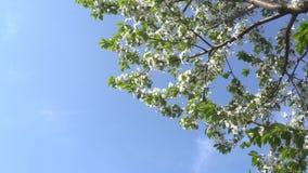 Flor de cerejeira de florescência de abril contra o céu azul 4K filme