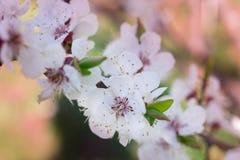A flor de cerejeira fresca da mola floresce o close-up no bokeh colorido Imagens de Stock Royalty Free