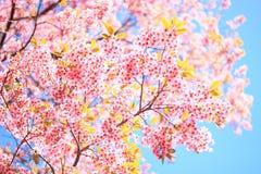 Flor de cerejeira Himalaia selvagem Fotos de Stock