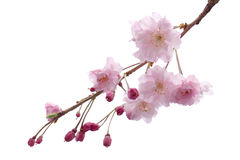 Flor de cerejeira isolada árvore da flor de sakura da flor completa Imagem de Stock