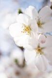 Flor de cerejeira japonesa Imagem de Stock