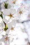 Flor de cerejeira japonesa fotografia de stock