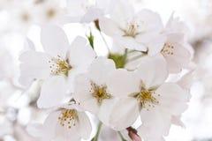 Flor de cerejeira japonesa fotografia de stock royalty free