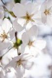 Flor de cerejeira japonesa fotos de stock