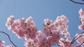 Flor de cerejeira japonesa no tempo ensolarado agradável filme