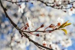 Flor de cerejeira leve para trás Fotos de Stock Royalty Free