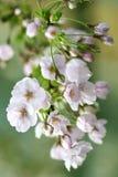 Flor de cerejeira na flor completa Imagem de Stock