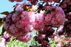 flor de cerejeira na mola Imagens de Stock