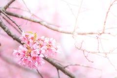 flor de cerejeira na mola fotografia de stock