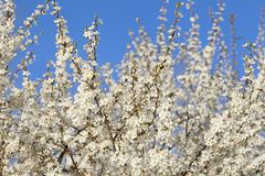 Flor de cerejeira na mola com céu azul Foto de Stock Royalty Free